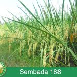 Padi Hibrida Sembada 188