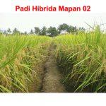 Padi Hibrida Mapan 05